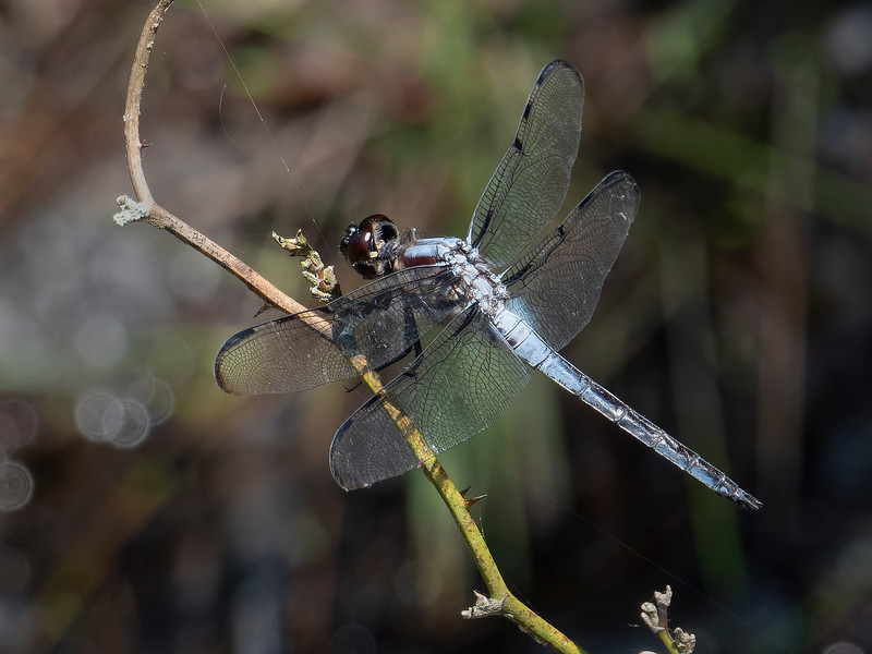Barwinged Skimmer (Libellula axilena), male