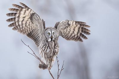 Owls / Ugglor