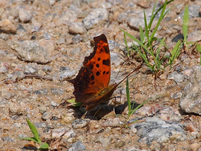 Eastern Comma, summer form