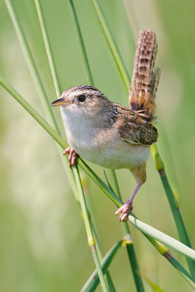Wren - Sedge  -Itasca County Road 446 - MN