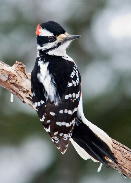 Woodpecker - Hairy - male - Dunning Lake - Itasca County, MN