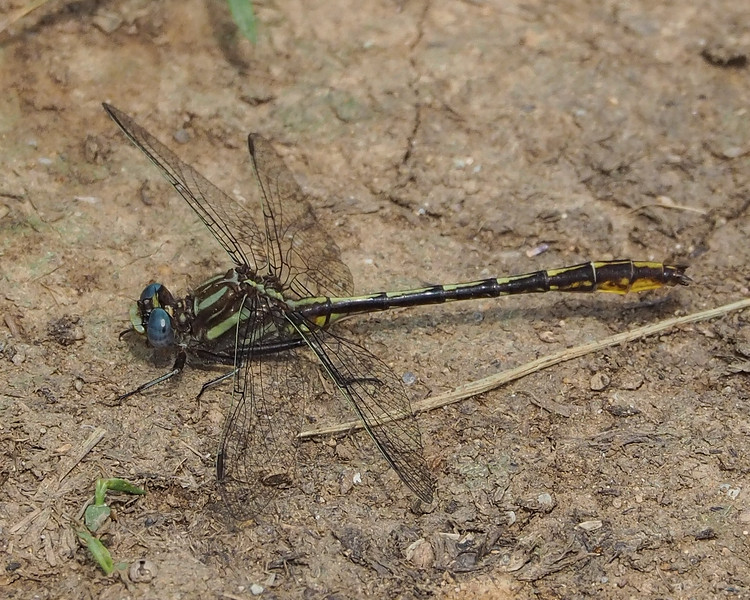 Black-shouldered Spinyleg, male