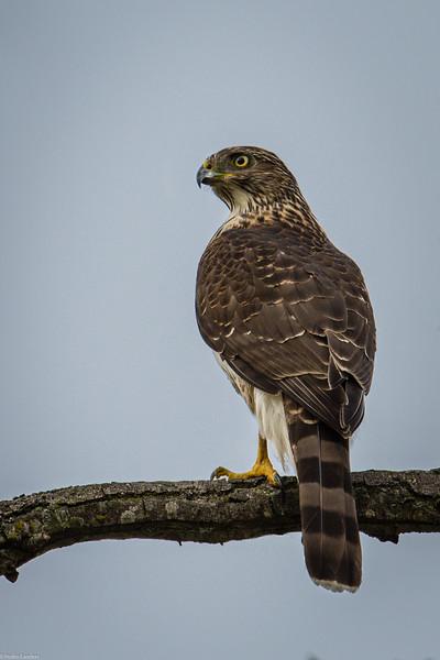 Sharp-Shinned Hawk.jpg