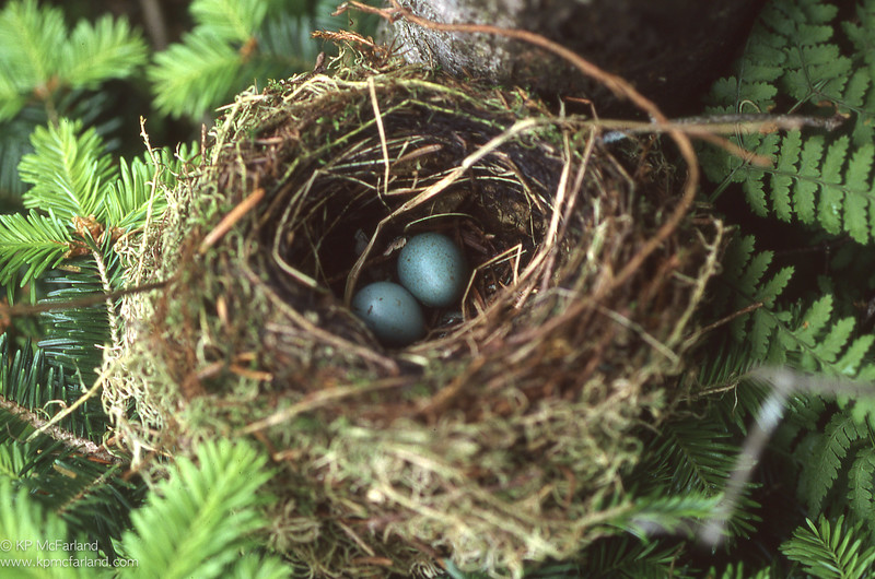 Bicknell's Thrush (Catharus bicknelli) nest. Mt. Mansfield, VT