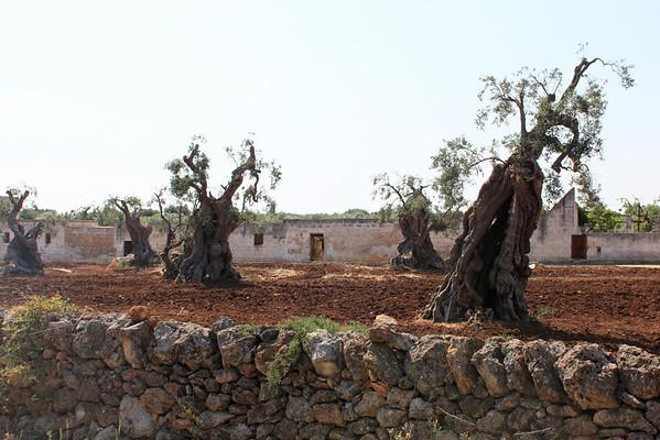 Biking to Ostuni_Ancient Olives, Masseria.jpg