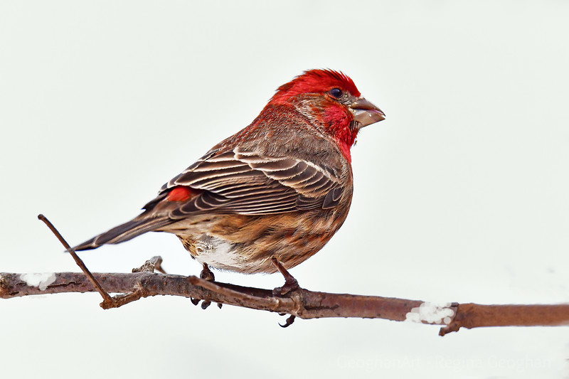 Hose Finch in the Snow