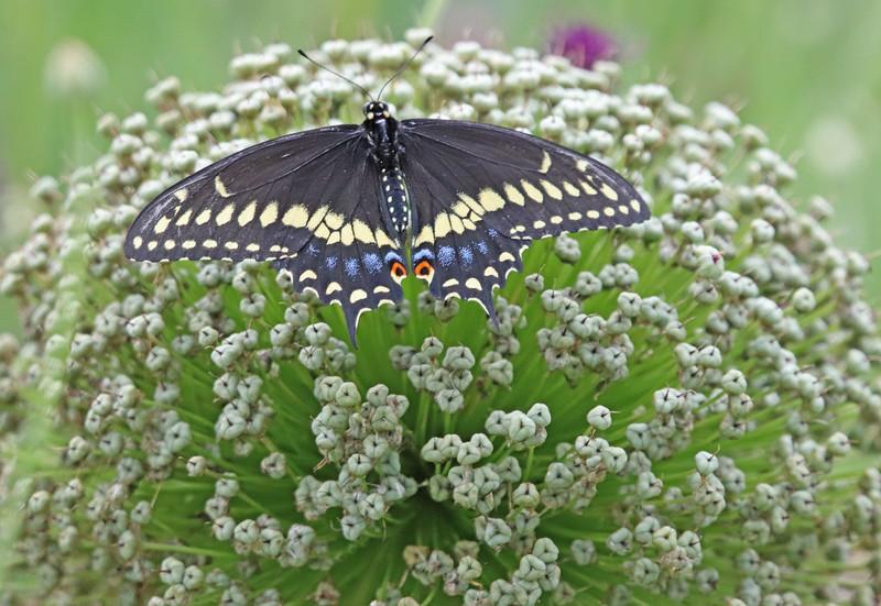 eastern black swallowtail on allium ambassador.JPG