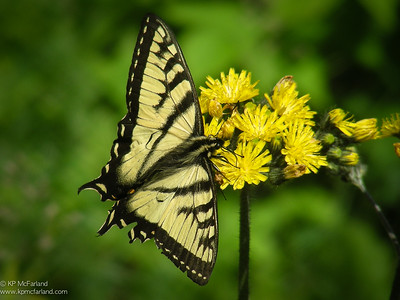 Swallowtails (Papilionidae)