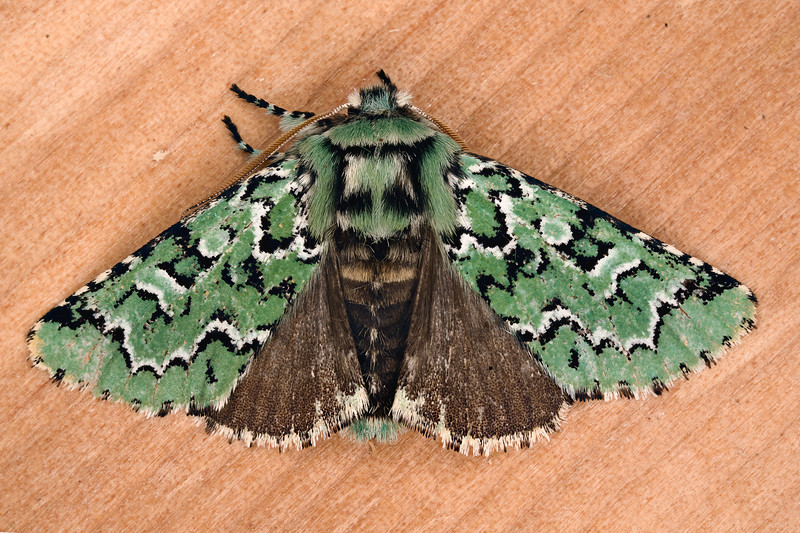 Deceptive Sallow Moth