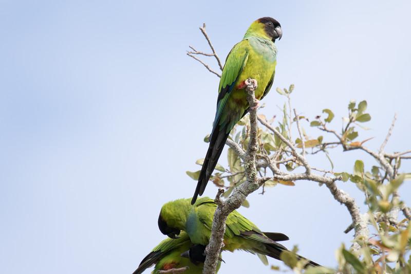 Nanday Parakeet St Pete FL 2020-1.jpg
