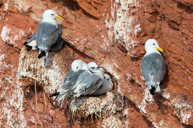 Fugle-Ride-RissaTridactyla-Helgoland-2014-07-05-_MG_7811-Danapix.jpg