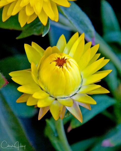 Straw Flower.jpg