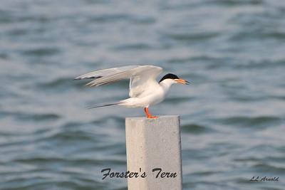 Breslers Forster's Tern