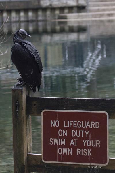 Black Vulture Lifeguard.jpg