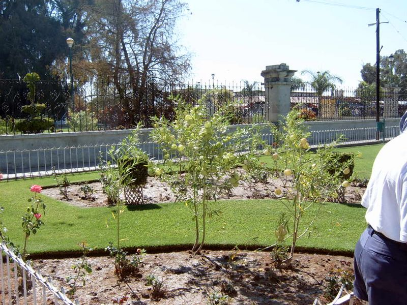 Mexico-Tule-Tree03.jpg