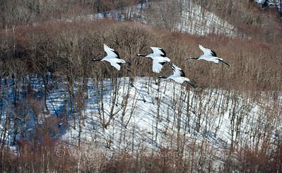 Cranes 鹤