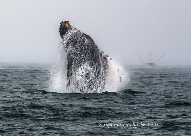 _DSC1245Breeching Whale.jpg
