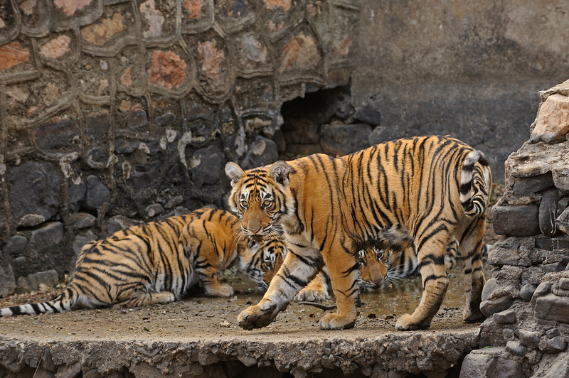 Bengal tiger family - mother with cubs - drinking water in an dam constructed on a stream in Ranthambhore national park, India