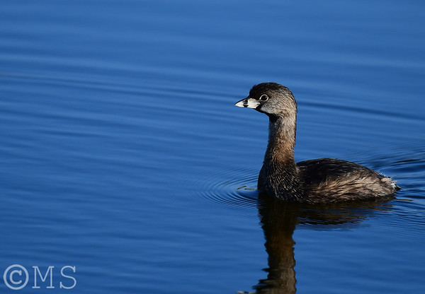 Grebe Image Gallery