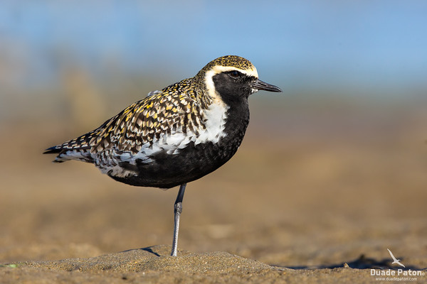 Plovers, Dotterel and Lapwings
