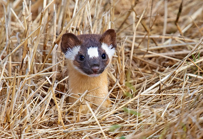 Weasels, Long-tailed