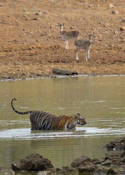 Preadator-prey-tiger-deer-02.jpg