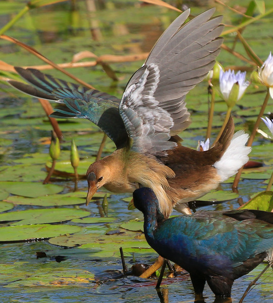 zAnahuac 8-21-14, Old T3i, 095A, juvenile Purple Gallinule with wings out (1 of 1).jpg
