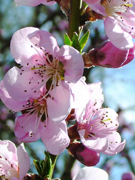 peach36.JPG