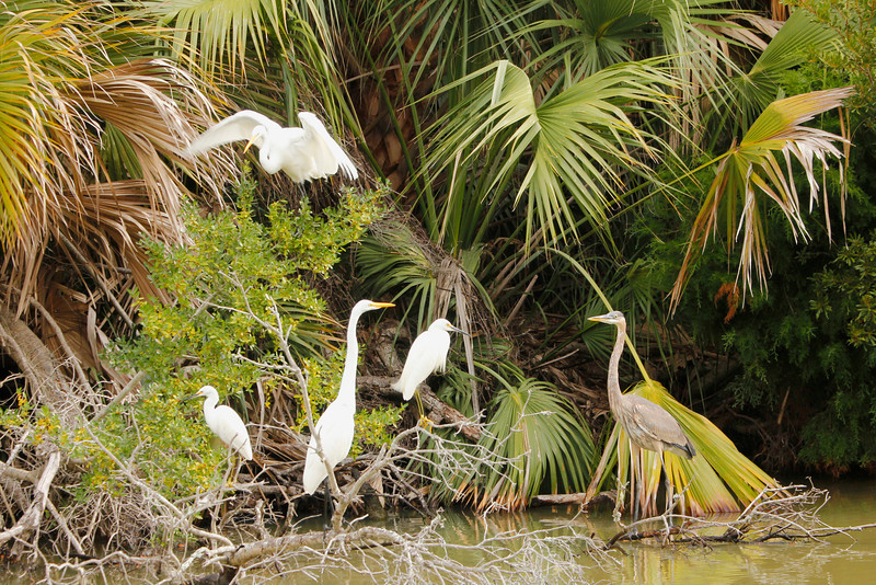 2 great egrets (black legs) 2 snowy egrets (yellow legs) and a great blue heron
