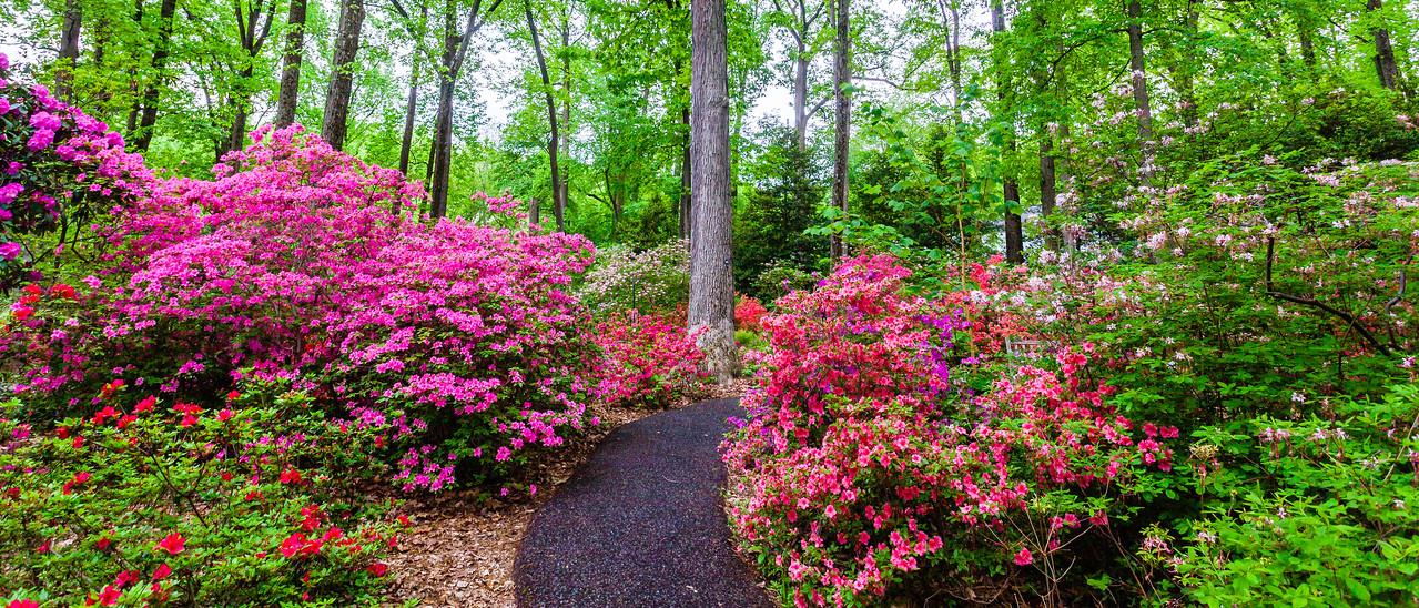 滨州詹金斯植物园(Jenkins Arboretum),杜鹃花开满园