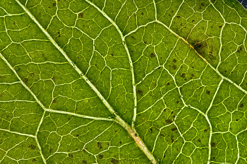 Back lit leaf with dew on hairs.