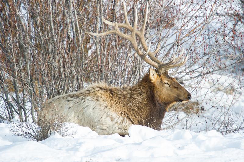 elk,animal,wild,yellowstone,photo