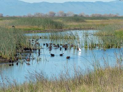 Day 5 Birds in San Luis National Wildlife Reserve