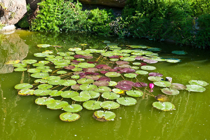 Lillypads at Lotusland