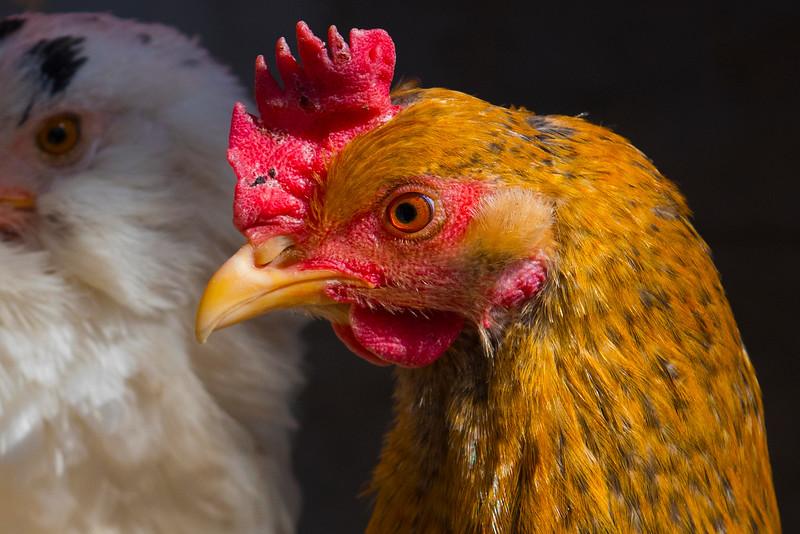 Chicken_DRM1789.jpg
