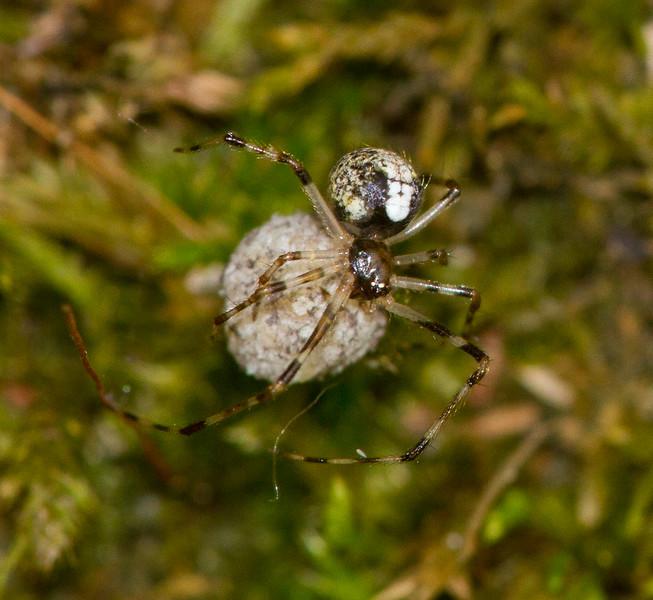 Yunohamella lyrica Lyric Cobweaver with spider egg sac Skogstjarna Carlton County MNIMG_1695.jpg