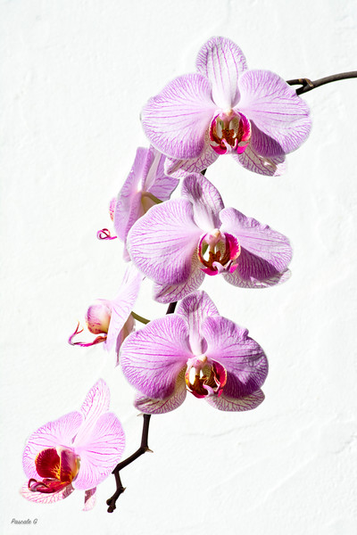 Orchids High Key ; Orchidées High Key