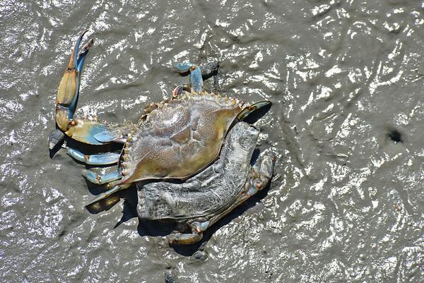 Molting Blue Crab at Jekyll Wharf 04-17-18