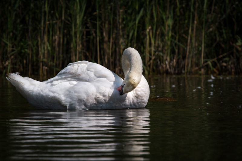 *2018-08-29 Monksville Reservoir - Swans-untitled (170 of 226)-018.jpg