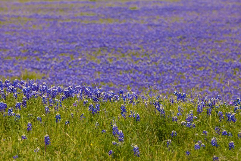 2015_4_3 Texas Wildflowers-7889.jpg