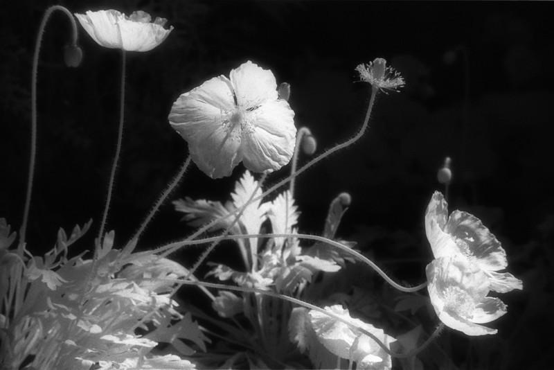 poppyscan1 8x12.jpg