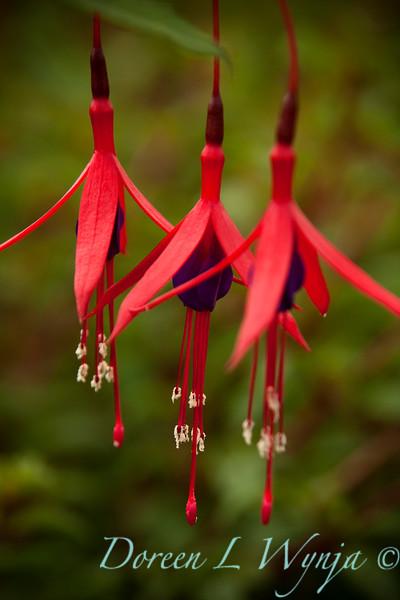 Fuchsia magellanica Windcliff Flurry_004.jpg