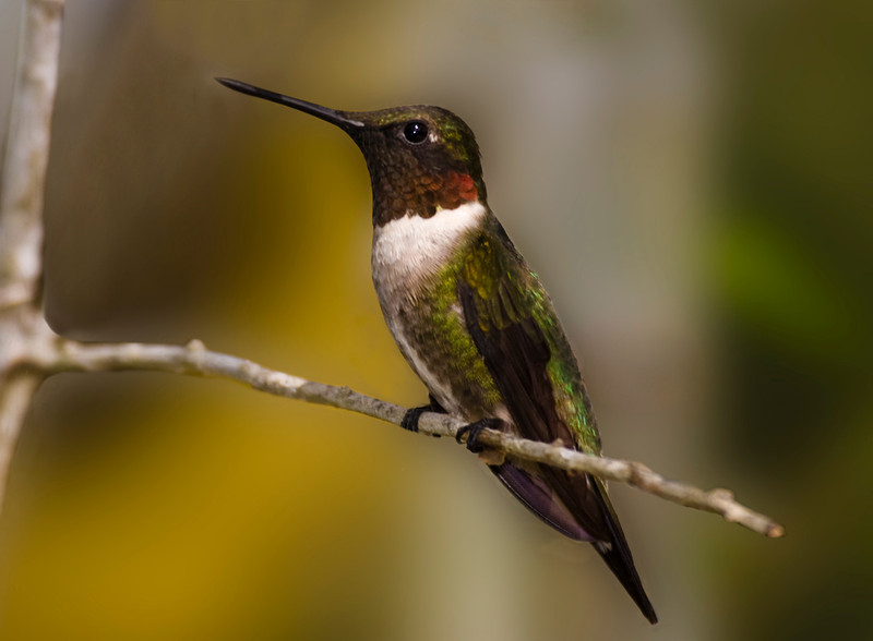 Ruby-throated Hummingbird two.jpg