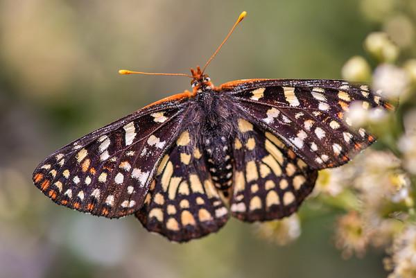 Lepidoptera - Butterflies, Moths