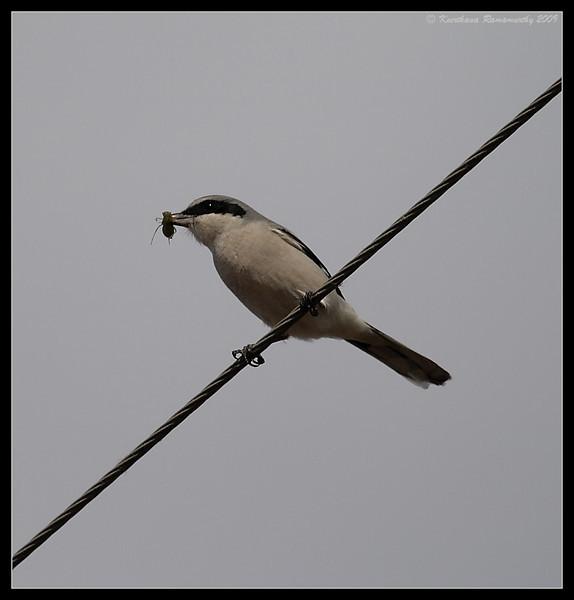 Loggerhead Shrike with feed, Salton Sea, Imperial County, California, November 2009