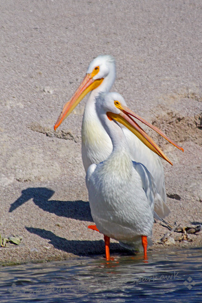 Talking Back ~ American White Pelican pair at Salton Sea.