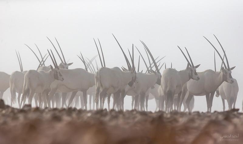 Arabian Oryx (42).jpg