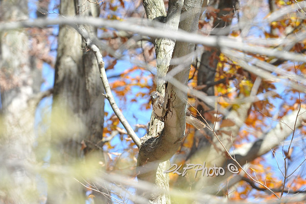 Red Tailed Hawks - Red Shouldered Hawk