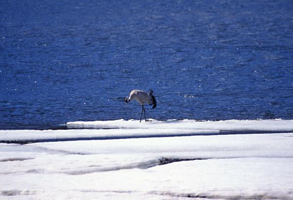עגור בקרח לפני הנדידה דרומה.jpg
