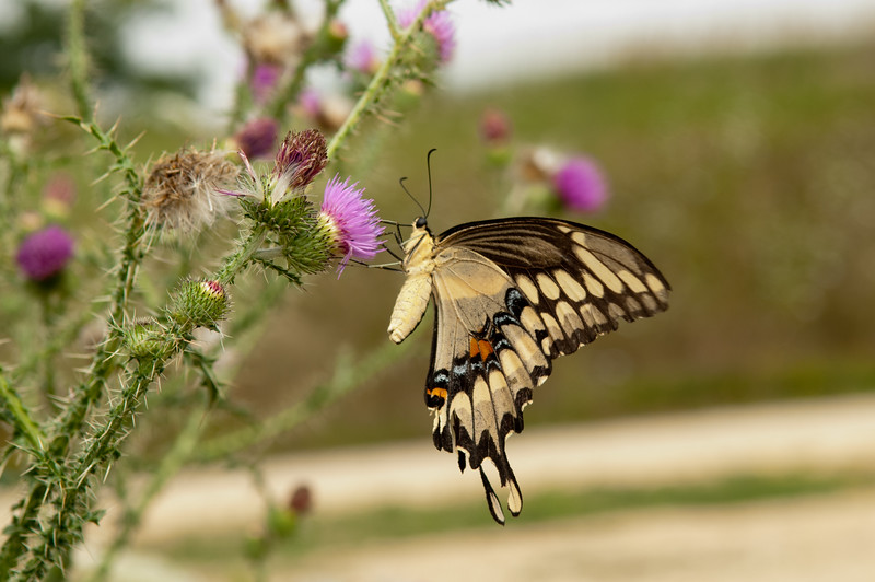 Tiger Swallowtail Hanging Out